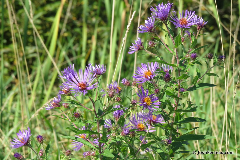 Photo of New England American-aster