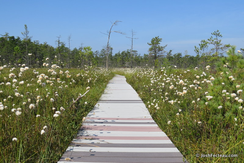 Photo of Tawny Cottonsedge along boardwalk