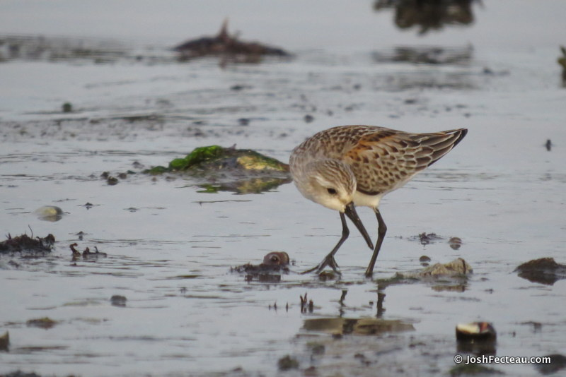 Photo of Western Sandpiper