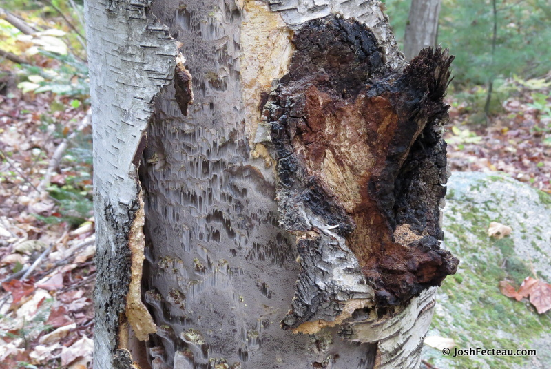 Photo of Chaga