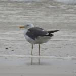 Photo of Lesser Black-backed Gull