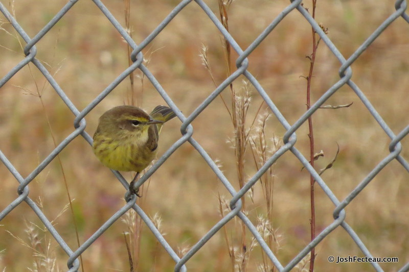 Photo of Palm Warbler (fall)