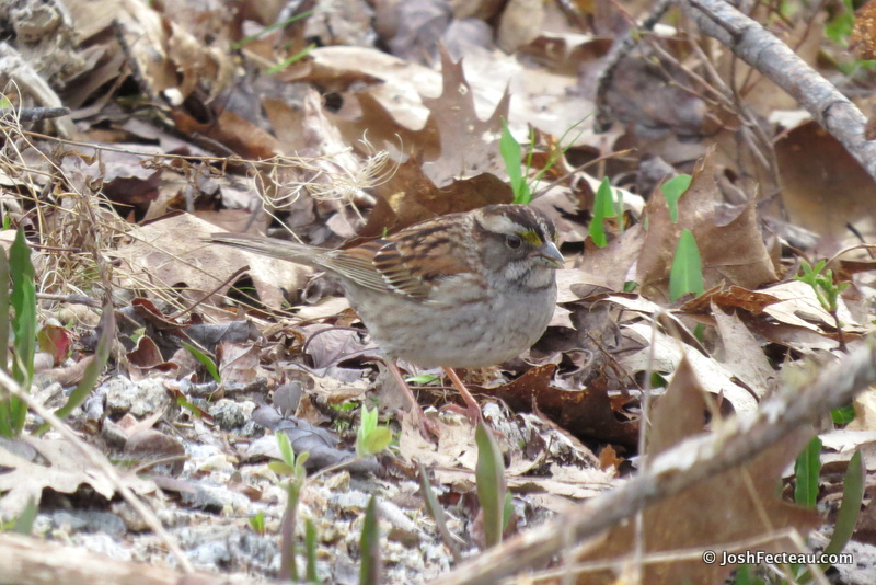 Photo of White-throated Sparrow (tan-striped adult)
