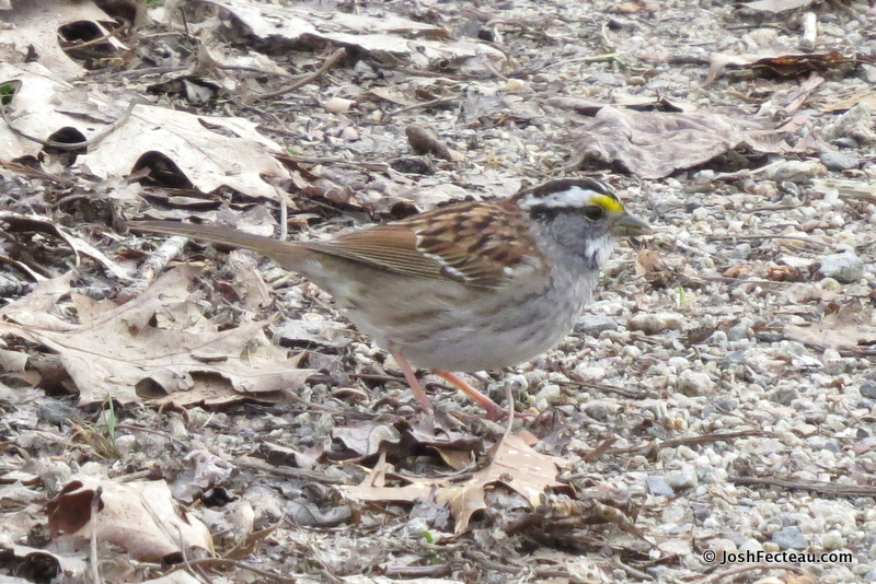 Photo of White-throated Sparrow (white-striped adult)