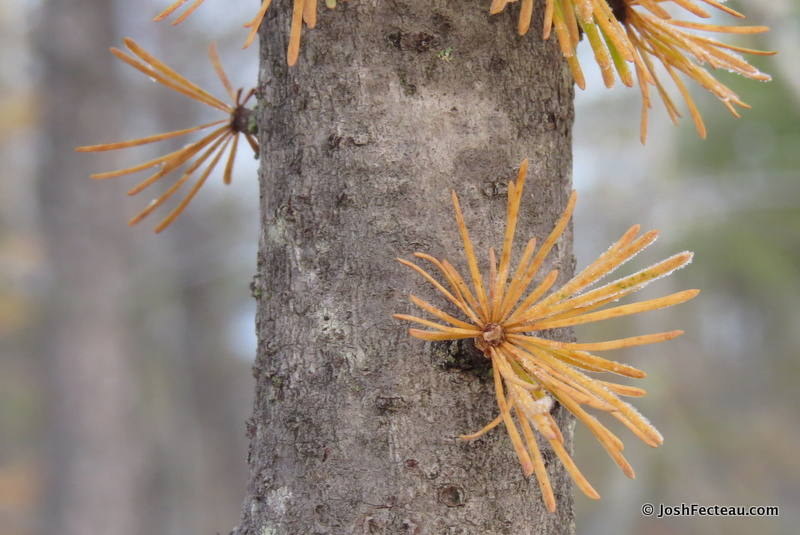 Photo of American Larch needles in fall