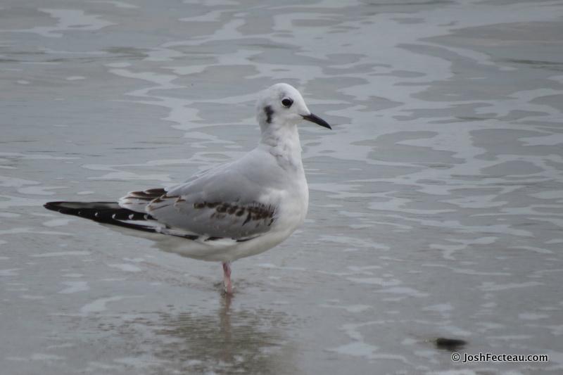 Photo of Bonaparte's Gull