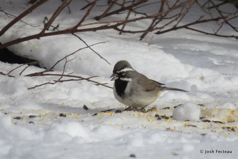 Photo of Black-throated Sparrow