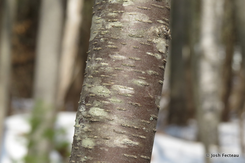 Photo of Cherry Birch bark