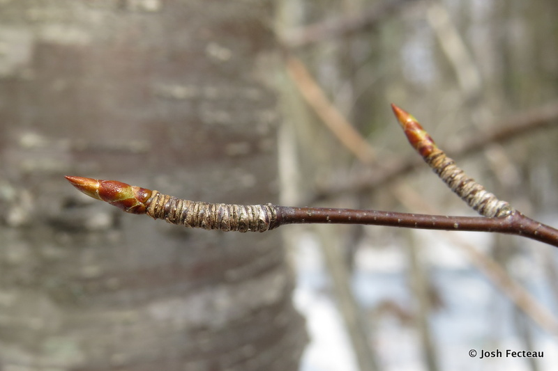 Photo of Cherry Birch buds