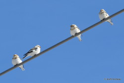 Photo of Snow Buntings