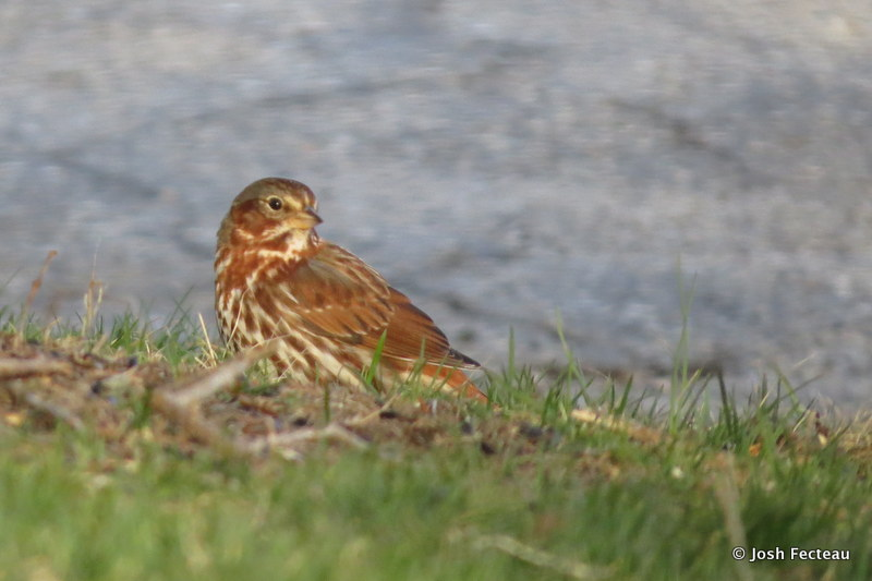 Photo of Fox Sparrow