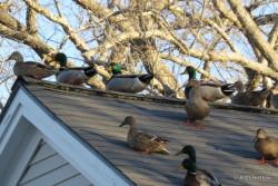 Photo of Mallards on rooftop