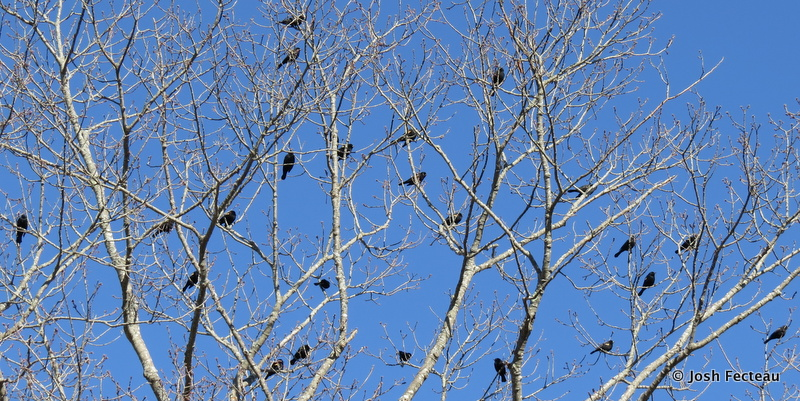 Photo of Red-winged Blackbirds
