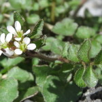 Photo of Hairy Bitter-cress flowers