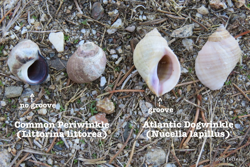 Photo of Common Periwinkle vs. Atlantic Dogwinkle