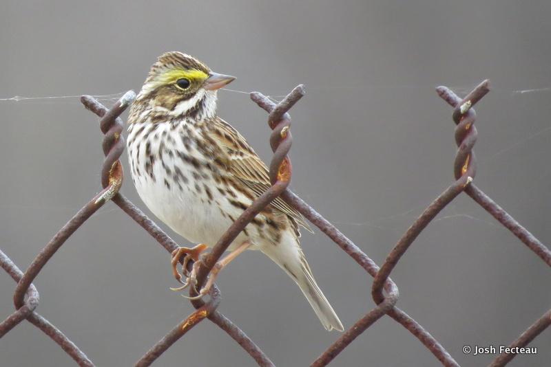 Photo of Savannah Sparrow
