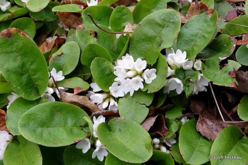 Photo of Trailing-arbutus flowering