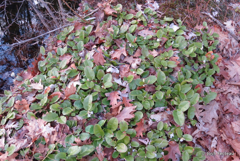 Photo of Trailing-arbutus patch