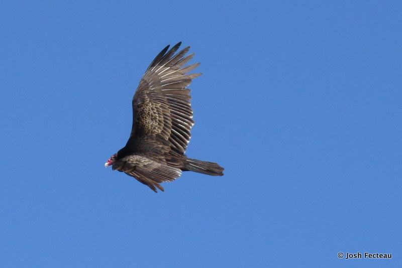 Photo of Turkey Vulture
