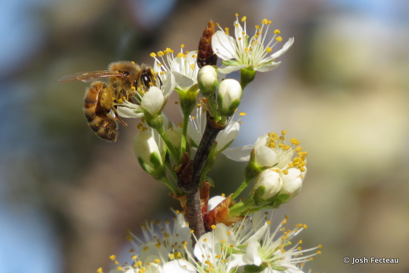Photo of Bee on Beach Plum