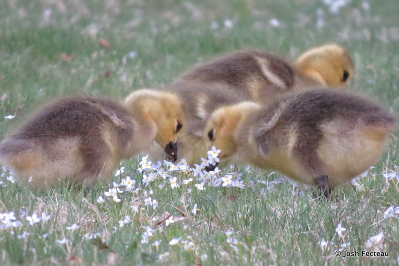Photo of Canada Geese eating Little Bluets