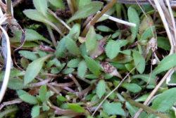 Photo of Little Bluet leaves