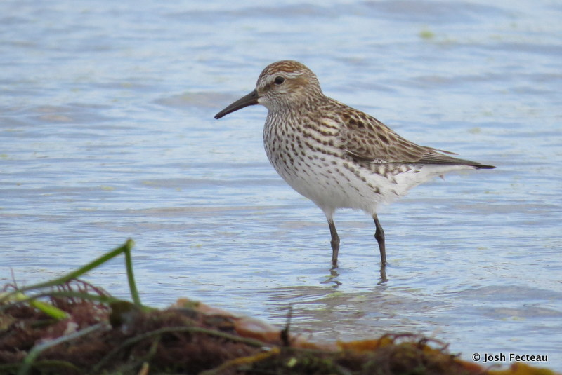Photo of White-rumped Sandpiper