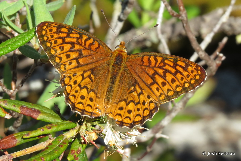 Photo of Atlantis Fritillary