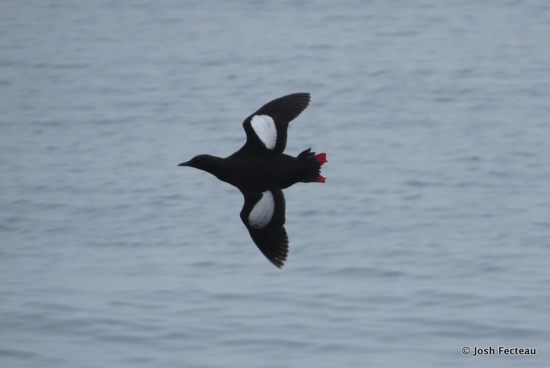 Photo of Black Guillemot