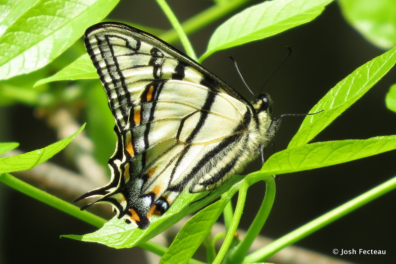Photo of Canadian Tiger Swallowtail
