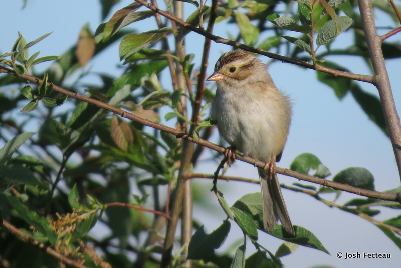 Photo of Clay-colored Sparrow