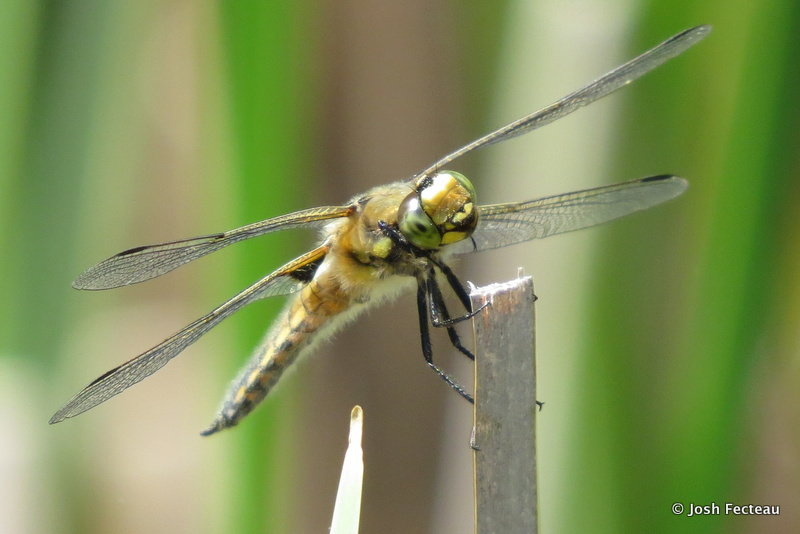 Photo of Four-spotted Skimmer (Libellula quadrimaculata)