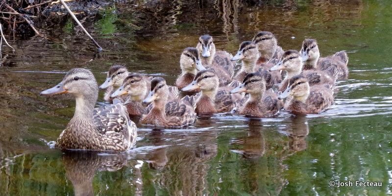 Photo of Mallards