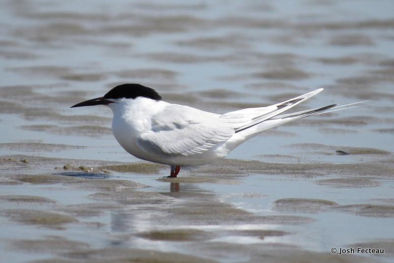 Photo of Roseate Tern