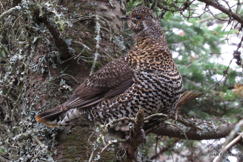 Photo of Spruce Grouse