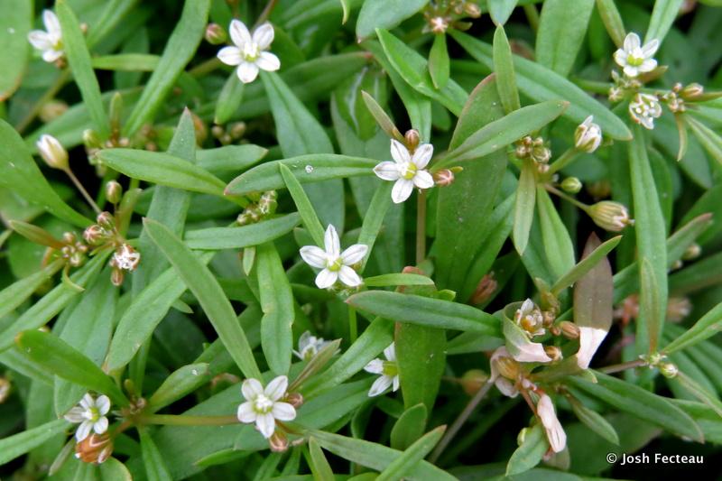 Photo of Green Carpetweed