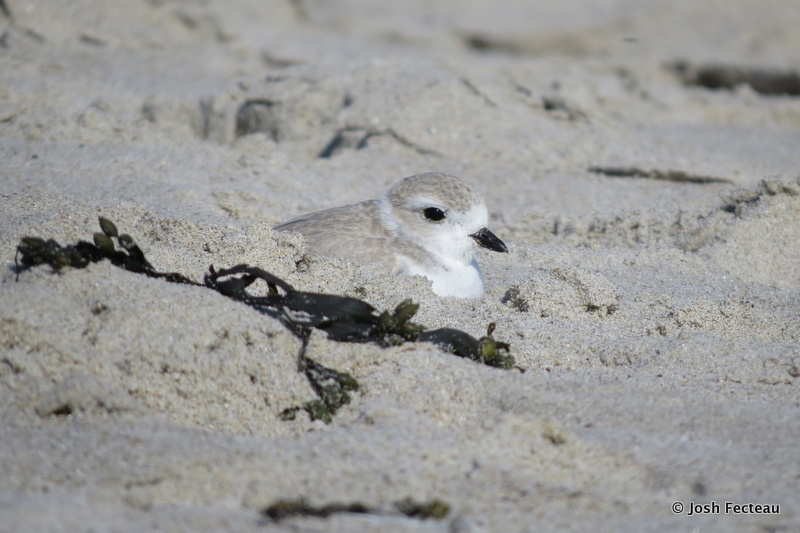 Photo of Piping Plover