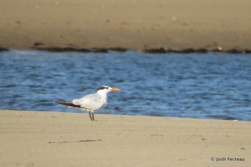 Photo of Royal Tern