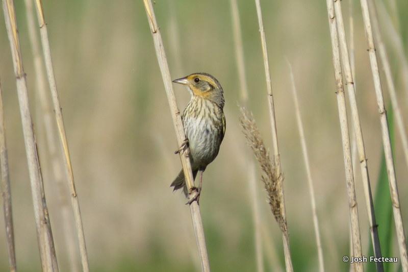 Photo of Saltmarsh Sparrow