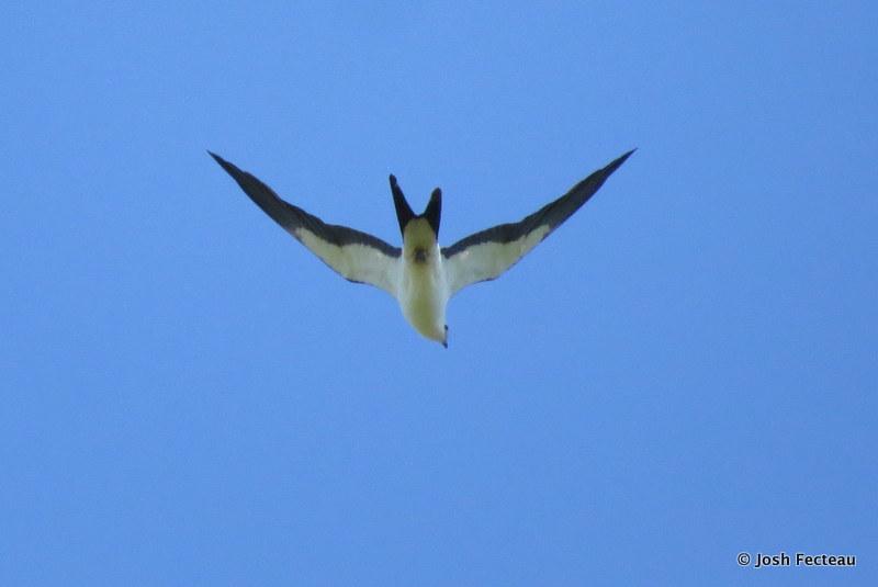 Photo of Swallow-tailed Kite