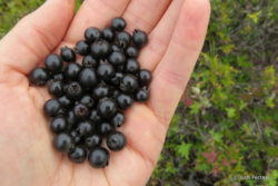 Photo of Dwarf Huckleberry handful