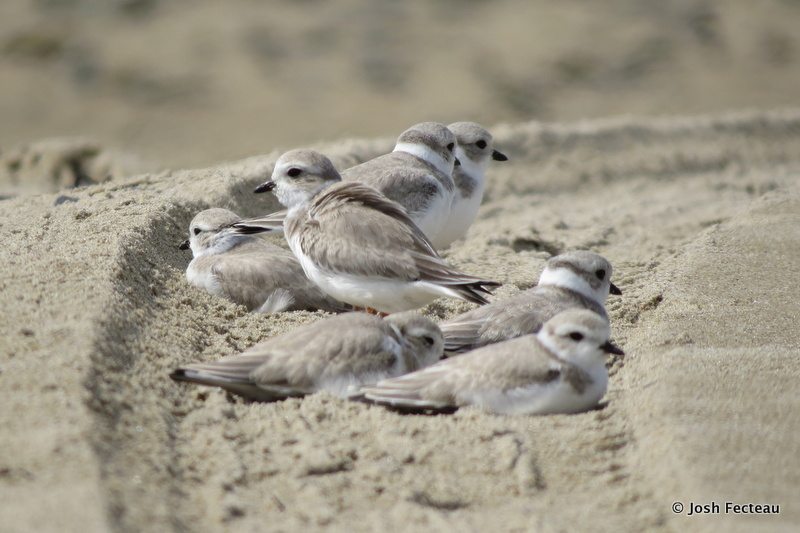 Photo of Piping Plovers (juveniles)