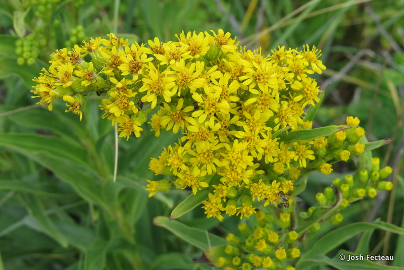 Photo of Seaside Goldenrod