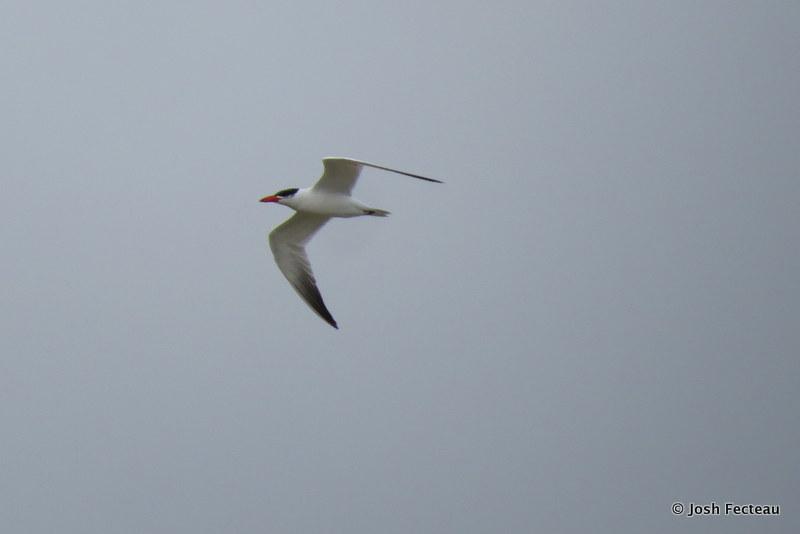 Photo of Caspian Tern