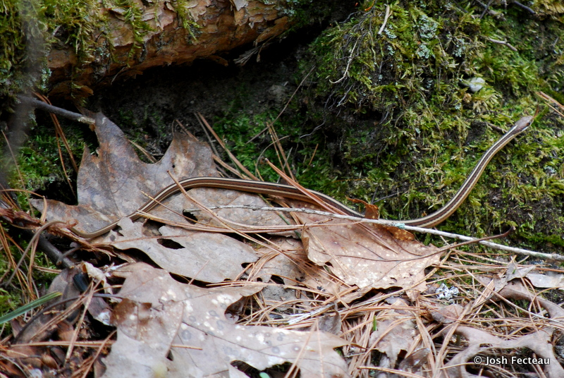 Photo of Eastern Ribbon Snake