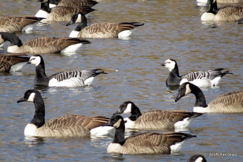 Photo of Barnacle Geese among Canada Geese