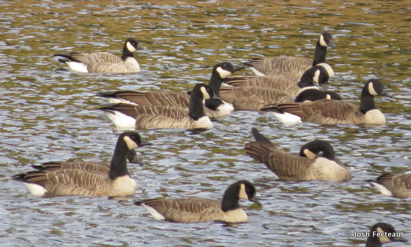 Photo of Cackling Goose (Limestone, ME)