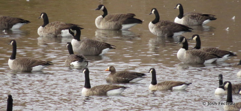 Photo of Greater White-fronted and Canada Geese