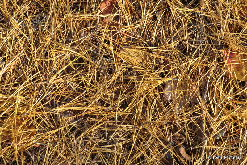 Photo of Pitch Pine needles
