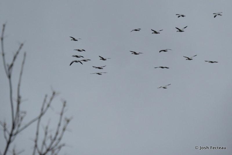 Photo of Snow Goose flock